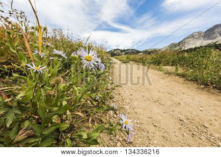 Showy Daisy/Fleabane wildflowers near a dirt road in alpine meadows in Albion Basin close to Salt Lake City
