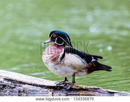 Wood duck male or Carolina duck is a species of perching duck found in North America. It is one of the most colorful North American waterfowl. They come to northern Canada to breed in summer in trees.