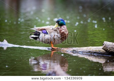 Male Mallard perched on a log in a pond in northern Quebec.