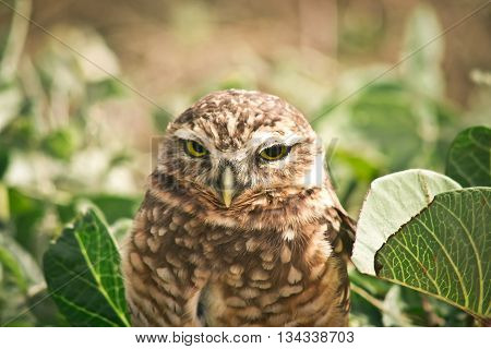 Close up of a burrowing owl in the midst of green leaves on the ground