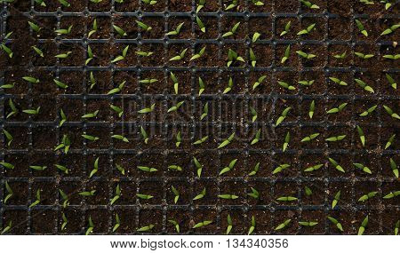 Black trays with soil for seedlings close up