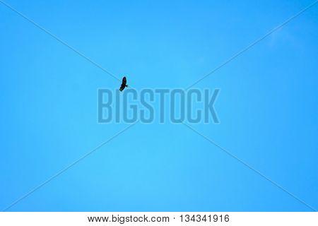 Predator bird in the blue sky