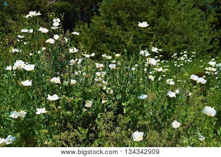 Field of Fallugia Paradoxa Wildflowers which is a native California drought tolerant chaparral plant