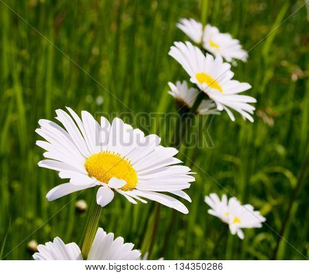 Daisies, Macro Flowers, flowers isolated, White flowers
