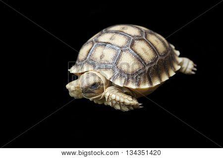 African Spurred Tortoise Or Geochelone Sulcata