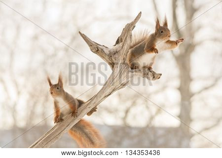 red squirrels on tree trunk with snow