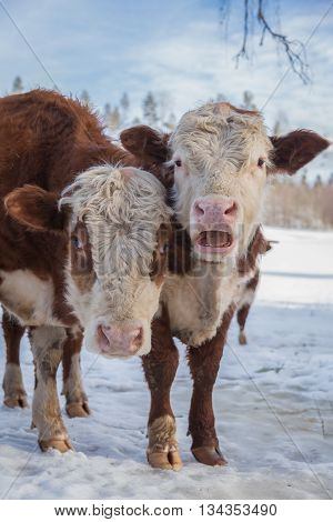 red and white bulls in snow in sun light