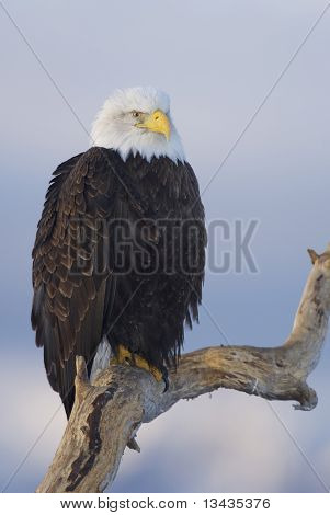 Alaskan Bald Eagle