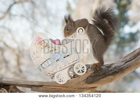 red squirrel with stroller and eggs in sun light