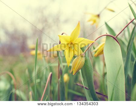 Beautiful Yellow Tulips In Meadow.