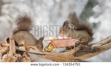 red squirrel with wheelbarrow and eggs in sun light