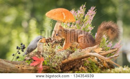 red squirrel standing between mushrooms flowers and berries with nuthatch