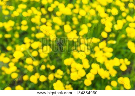 Blurred lawn of the buttercup flower in Japan