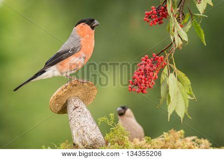 male bullfinch standing on mushroom with berries hanging
