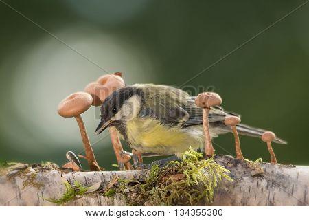 titmouse is standing between mushrooms in sun light