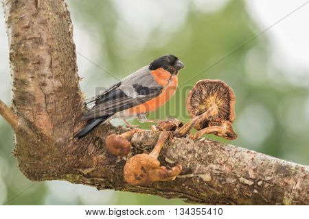 male bullfinch standing on tree with mushrooms