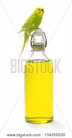 Budgerigar bird on olive oil bottle isolated on white background.