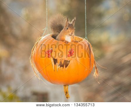 red squirrel standing in a pumpkin face