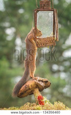 red squirrel standing on mushroom reaching a lamp