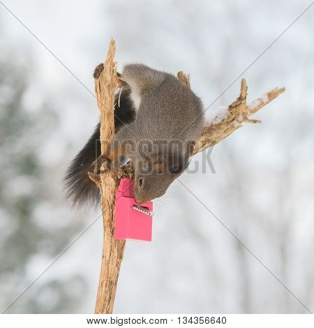red squirrel on tree trunk with snow and mailbox