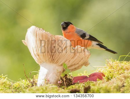 male bullfinch standing on mushroom in sun light