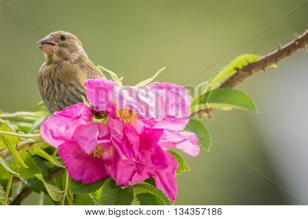 green finch is standing on branch with wild roses