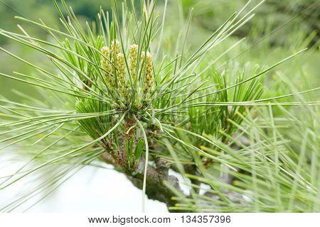 Pinus Thunbergii Pine Tree And Garden Pond