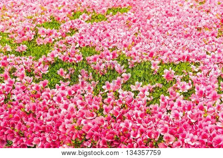 Pink Azalea flower blossom in a park Japan