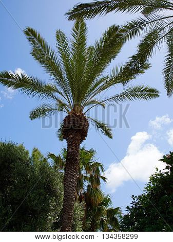 Beautiful Tropical exotic Palm trees with clear blue summer sky