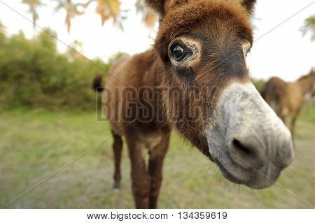 Donkey is cute baby donkey hanging out is his pasture saying hello up close and friendly.