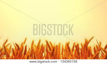 Golden wheat farmland at sunset in summer