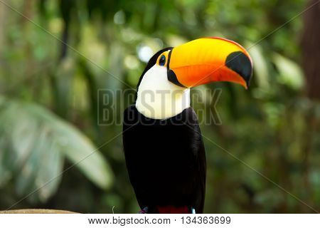 Toucan bird on the nature in Foz do Iguacu, Brazil