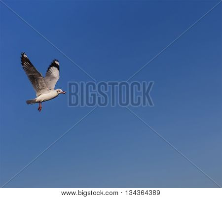 Brown-headed Seagulls (larus Brunnicephalus)