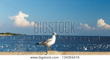 Brown-headed seagulls Larus brunnicephalus  near sea and sky