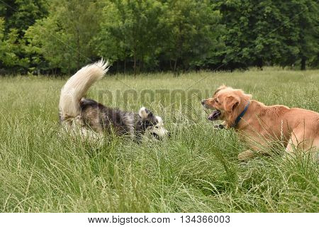 Two large dogs playing in a field of tall grass