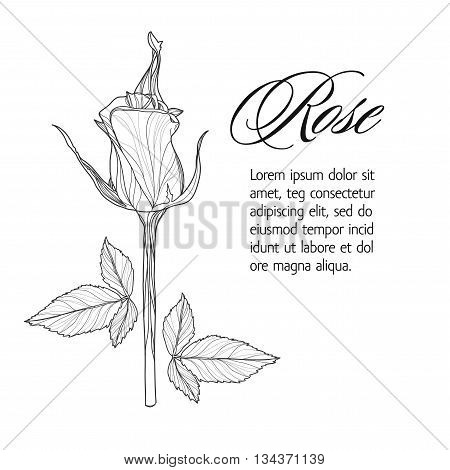 Greeting card with rose bud, ink sketch, can be used as invitation card for wedding, birthday and other holiday and summer background. Vector illustration.