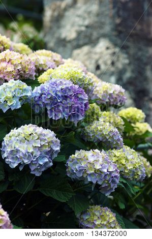 Bush hydrangea with  flowers blue color in the garden