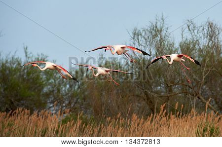 Flock of greater flamingos Phoenicopterus ruber in flight with the blue background of the sky