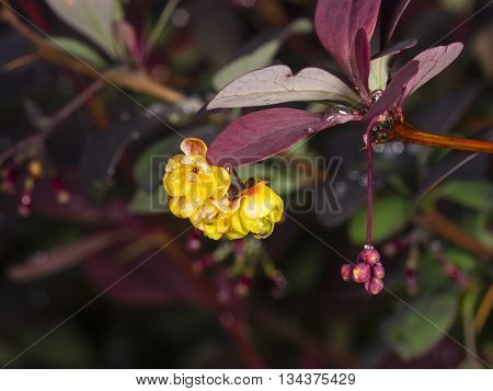 Berberis thunbergii Japanese Barberry flower clusters buds and red leaves with raindrops on dark bokeh background macro selective focus shallow DOF