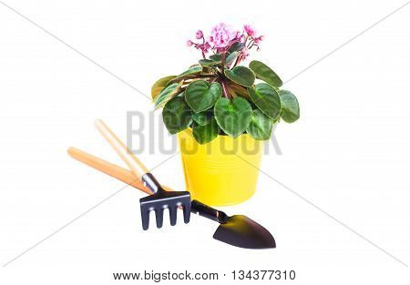 Violet in a flowerpot with a shovel and rake isolated on white background