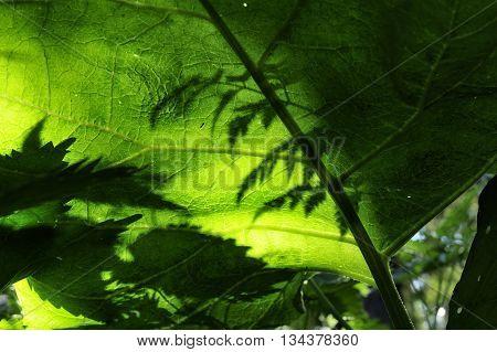 closeup nice big burdock leaves with shadows