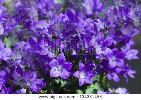 a deep blue dalmatian bellflower in a pot