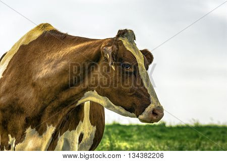 Red and White Holstein head and neck looking to the right