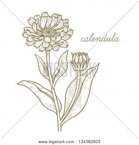 Calendula. Vector plant isolated on white background. The concept of graphic image of medical plants herbs flowers fruits roots. Designed to create package of health and beauty natural products.
