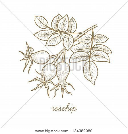Rosehip. Vector plant isolated on white background. The concept of graphic image of medical plants herbs flowers fruits roots. Designed to create package of health and beauty natural products.
