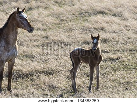 A young foal and mare on a prairie pasture