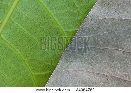 Macro leaves for fresh Leaf and decayed leaf