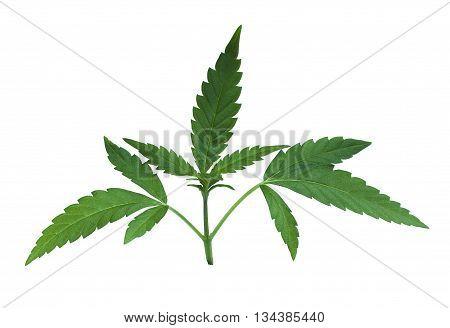 green marijuana cannabis plant leaves silhouette detail