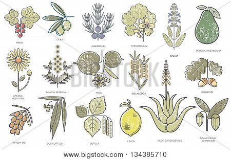 Currant olive juniper celandine sage avocado arnica acacia lime tea tree oak buckthorn eucalyptus birch lemon aloe jojoba. Set of color medical herbs on a white background. Vector