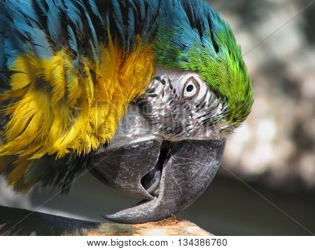 Blue and Yellow Macaw Ara Ararauna Parrot